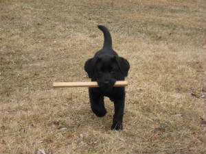 Black Labrador Puppy Carring A Stick