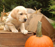yellow lab puppy with a pumpkin
